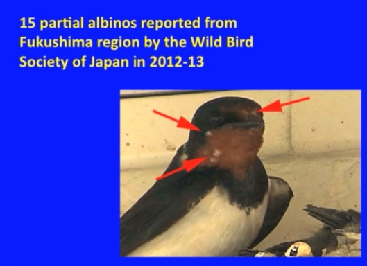 Biological Consequences of Nuclear Disasters: From Chernobyl to Fukushima, LOC-Mousseau Fukushima partial albino Wild Bird Soceity