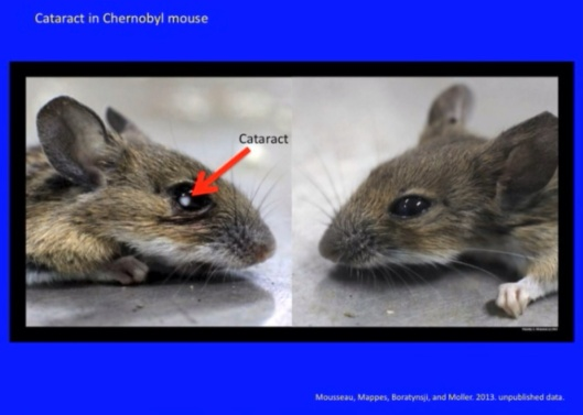 Biological Consequences of Nuclear Disasters: From Chernobyl to Fukushima, LOC-Mousseau Vole Mouse Cataract Chernobyl
