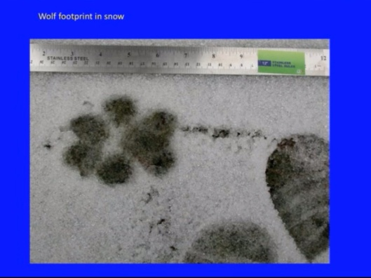 Biological Consequences of Nuclear Disasters: From Chernobyl to Fukushima, LOC-Mousseau Wolf footprint
