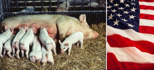 USDA Piglets and flag
