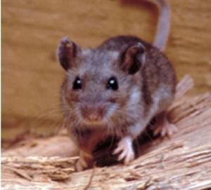 Deer Mouse CDC gov