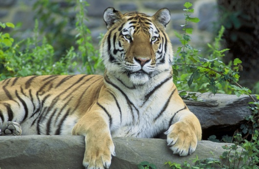 Siberian tiger, Panthera tigris altaica, USFWS, Hollingsworth, John and Karen, 2008