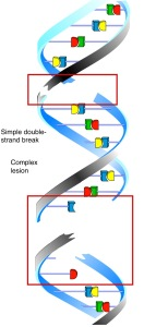 Figure 13. DNA Damage II:  Double-Strand Breaks Double-strand breaks result from two single-strand breaks that are induced at closely opposed positions in the com-plementary strands.  Simple double-strand breaks (upper red box) can often be repaired by a simple end-joining procedure.  Ionizing radiation often in-duces a complex lesion (lower red box) with base alterations and base dele-tions accompanying the breaks.