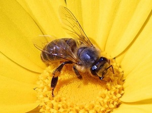 Honey Bee flower public domain via wikipedia