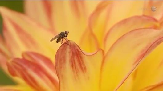 fruitfly NASA