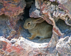 Desert rabbit NPS