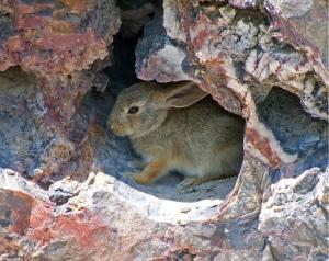 Desert rabbit NPS