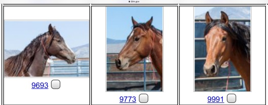 BLM Horses for Adoption