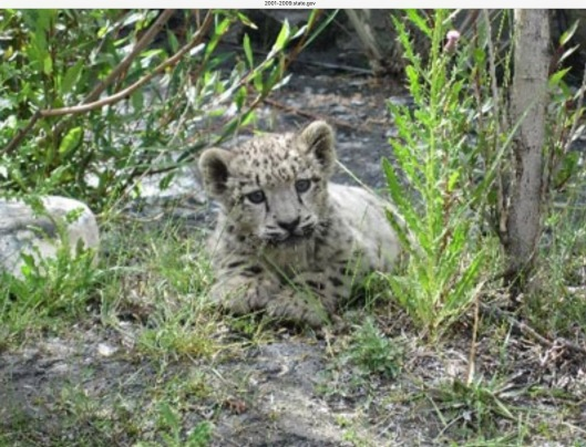 International Cooperation To Save Orphaned Snow Leopard Cub, Aug. 8, 2006, US Dept of State