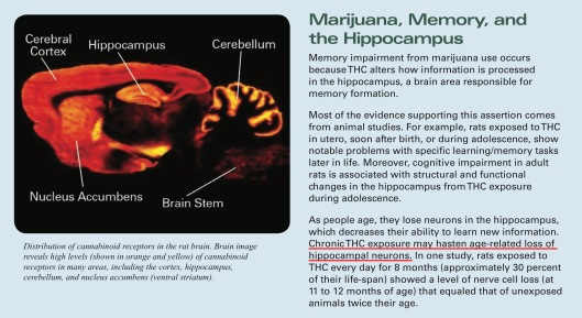 Marijuana Hippocampus damage NIH gov