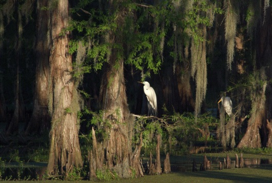 Two Egrets rest on the limbs of a cypress in the Atchafalaya flood basin (Photographer Lane Lefort, Courtesy of the U.S. Army Corps of Engineers)